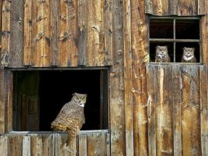 Eagle Owls Lookout Wallpaper