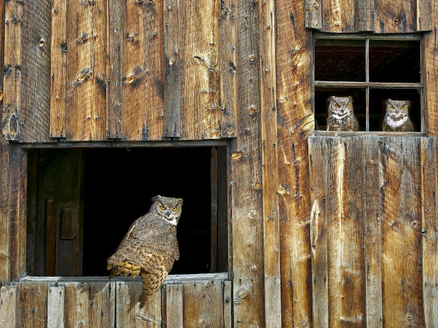 Eagle Owls Lookout Wallpaper