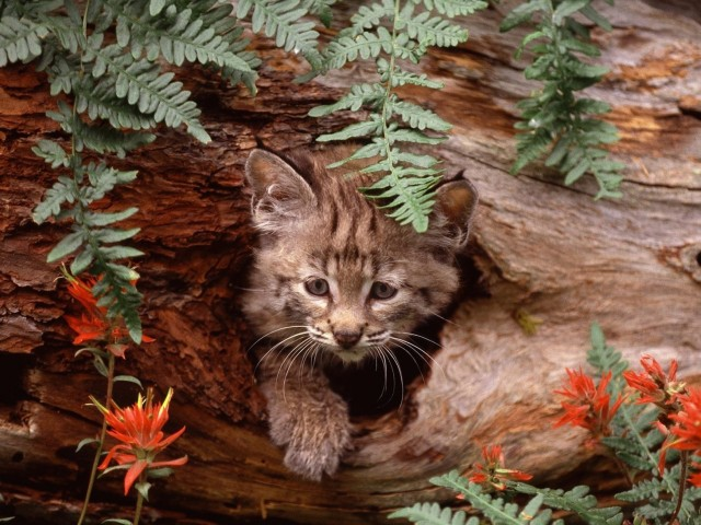 Bobcat Kitten Hiding Wallpaper