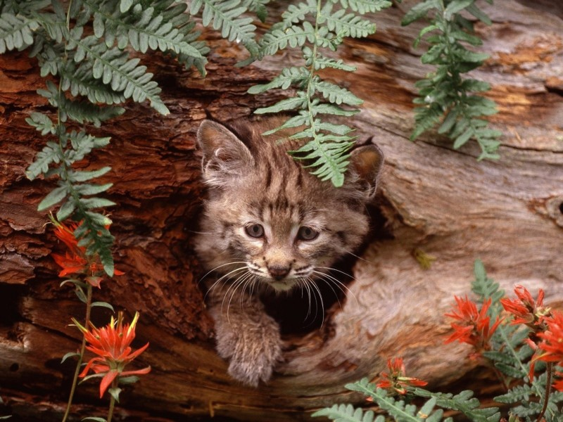 Bobcat Kitten Hiding Wallpaper
