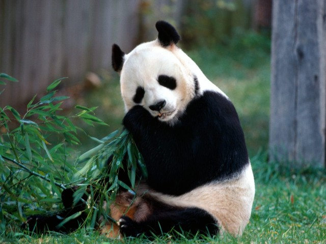 Snack Time, Panda Bear