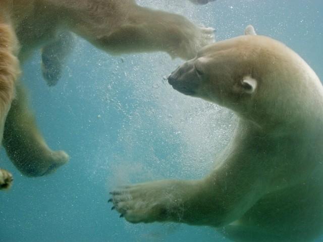 Swimming Polar Bears, Point Defiance, Washington