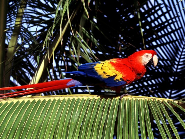 Tropical Perch, Scarlet Macaw