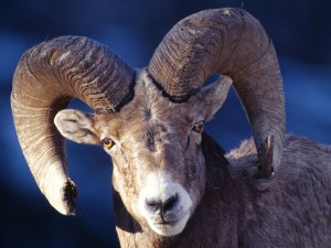 Desert Bighorn Sheep Wallpaper