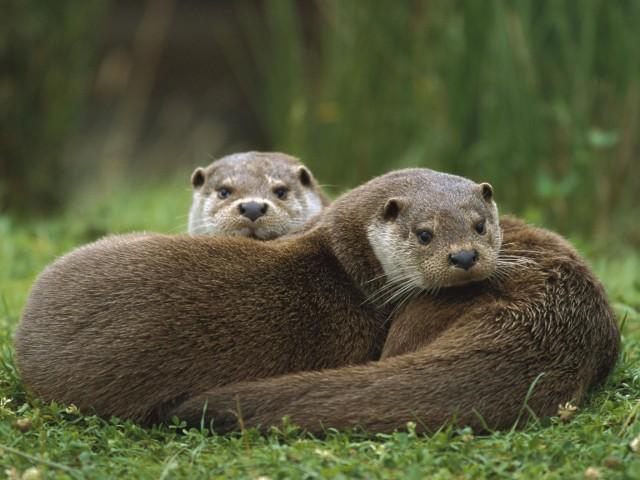 European Otter Wallpaper