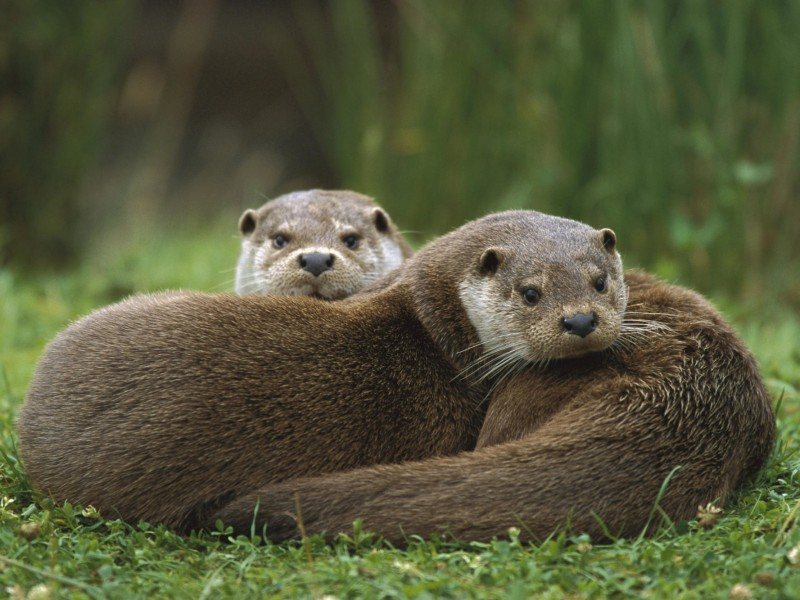 European Otter Wallpaper | Free Otter Downloads