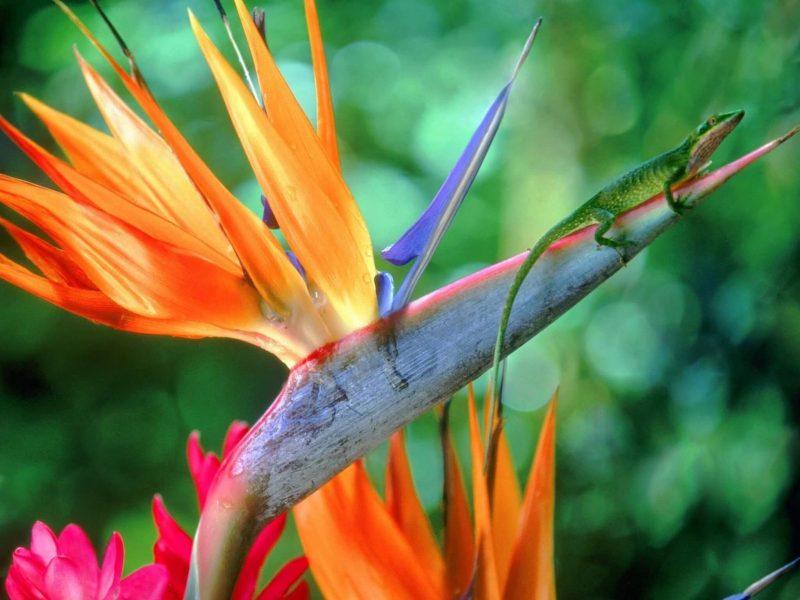 Hawaiian Bird Of Paradise Wallpaper
