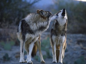 Wolf Mates Wallpaper