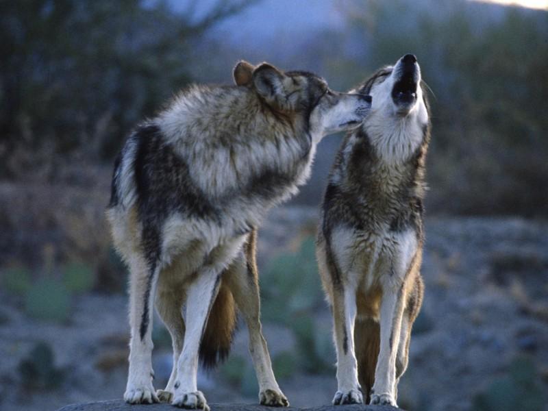 Wolf Mates Wallpaper | Free HD Wolf Downloads