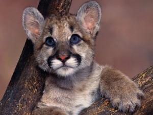 Baby Blue Eyes Cougar Wallpaper