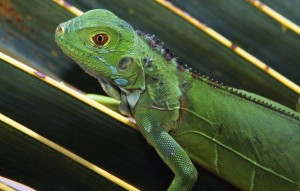 Baby Green Iguana Reptile Wallpaper