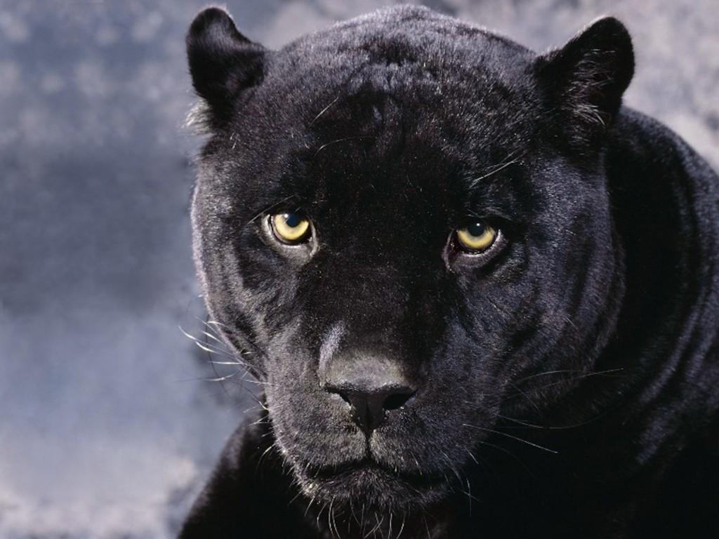 Black Panther Cougar Wallpaper Cool Wallpapers Hd