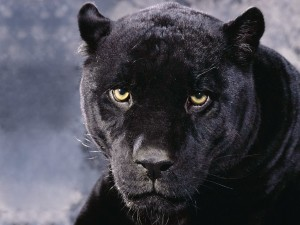 Black Panther Cougar Wallpaper
