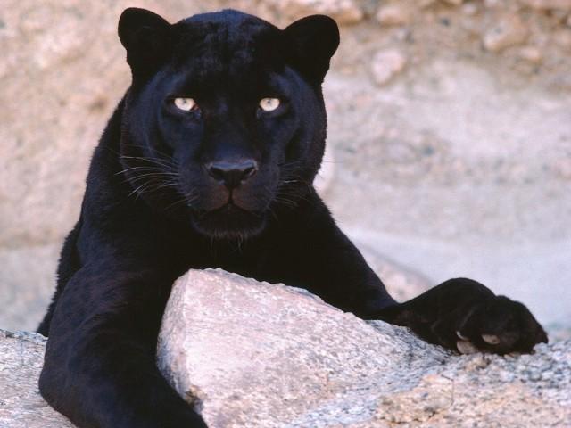 Black Panther-Leopard Wallpaper