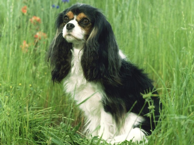 Cavalier King Charles Spaniel Wallpaper