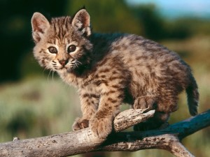 Cute Baby Bobcat Wallpaper