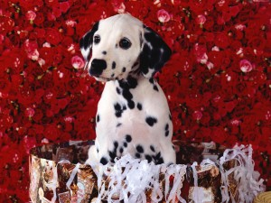 Cute Dalmatian Puppy Wallpaper