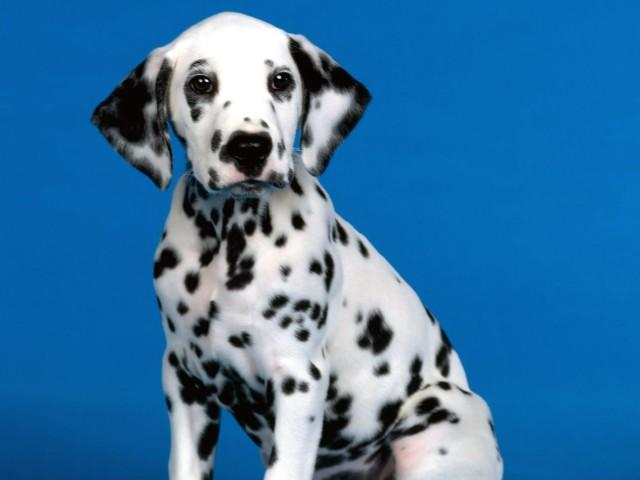 Dalmatian Dog HD Wallpaper