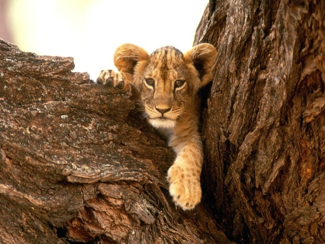 Furry Lion Cub Wallpaper