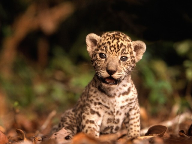 Jaguar Kitten Wallpaper