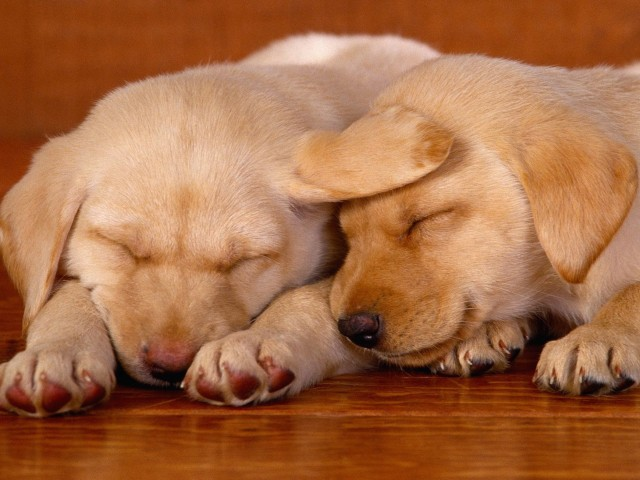 Labrador Puppies Sleeping Wallpaper