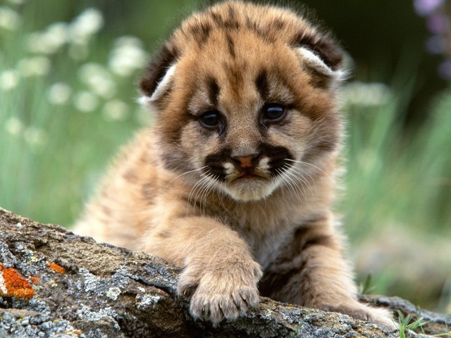 Mountain Lion Baby Cub Wallpaper
