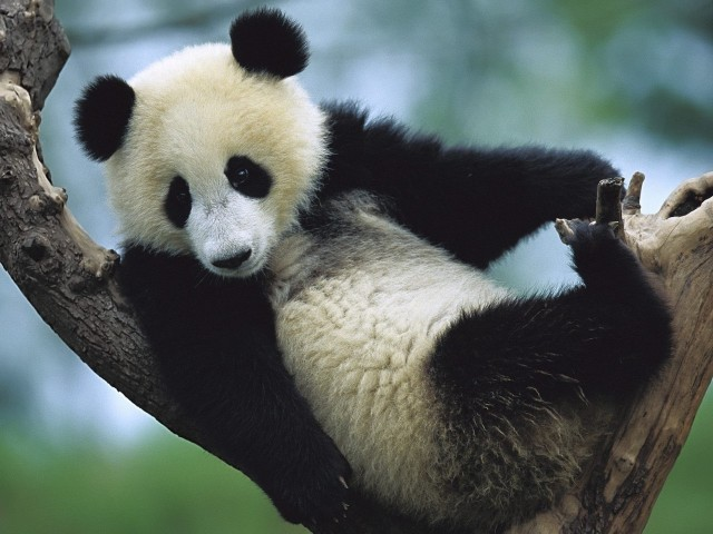 Panda Cub Sichuan China Wallpaper