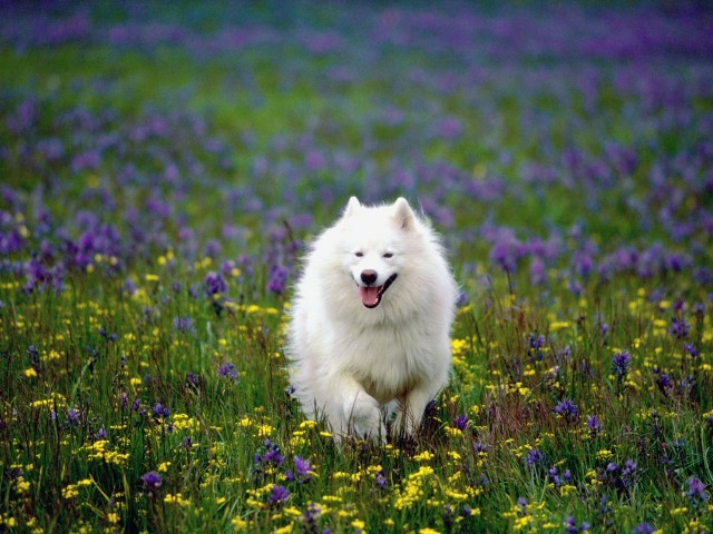 Samoyed Summer Play Wallpaper