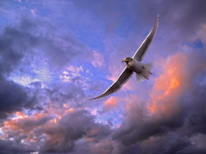 Soaring Gull, Puget Sound, Washington