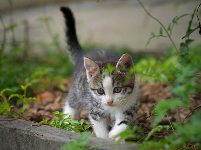 Curious Kitten Wallpaper