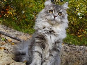 Cute Maine Coon Cat Wallpaper