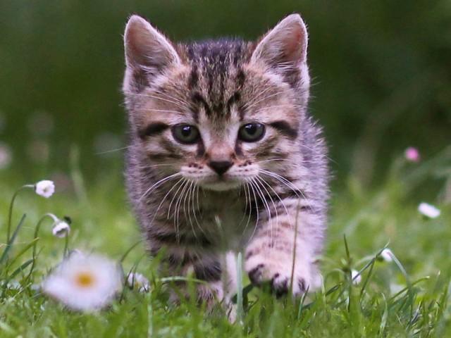 Cute Tabby Kitten Wallpaper