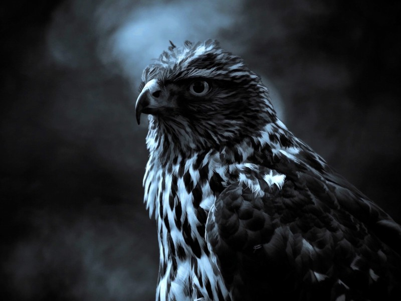 Hawk Painting Wallpaper