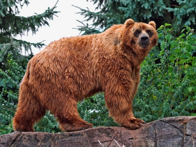 Kodiak Brown Bear Wallpaper