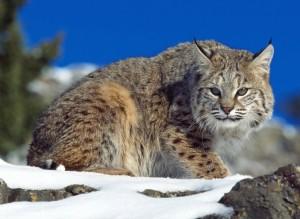 Lynx Wild Cat Wallpaper