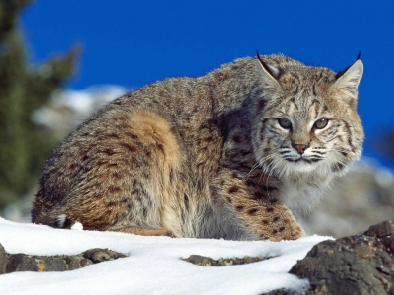Lynx Wild Cat Wallpaper