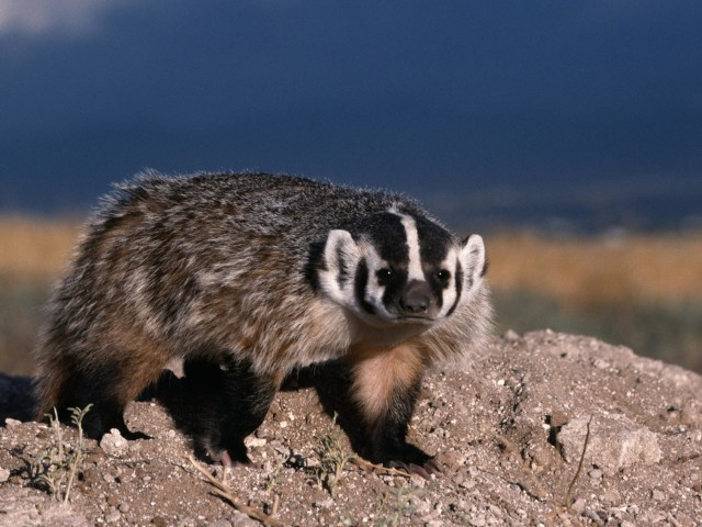North American Badger-Mammal Wallpaper