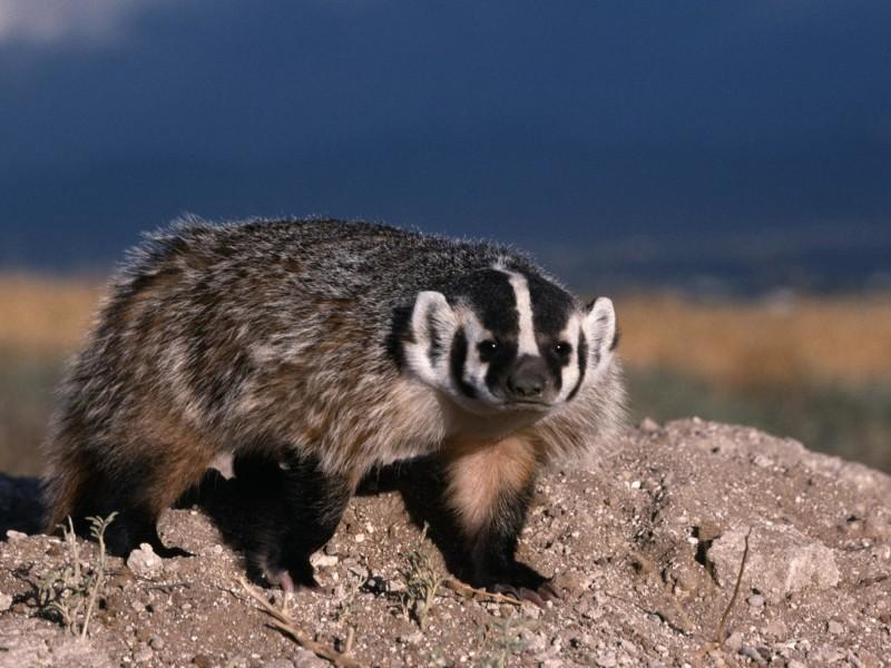 North American Badger-Mammal Wallpaper