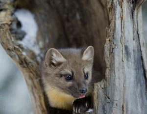 Pine Marten Winter Wallpaper