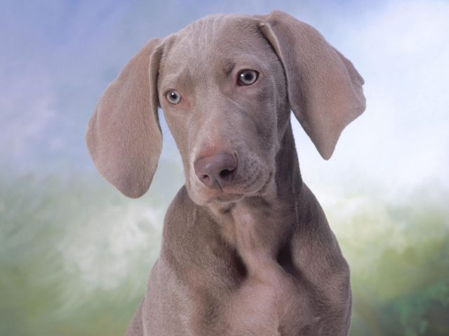 Silver Weimaraner Puppy Wallpaper