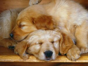 Sleeping Puppies Wallpaper