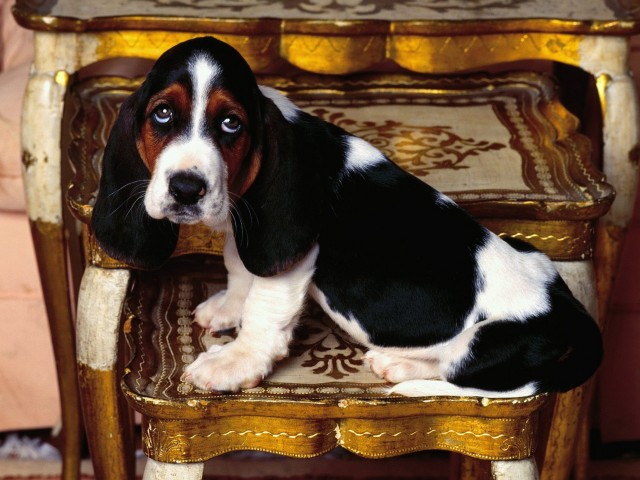 Basset Hound Table Topper Wallpaper