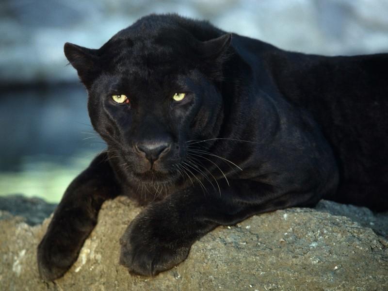 Black Panther Wallpaper Free Desktop Phone Downloads