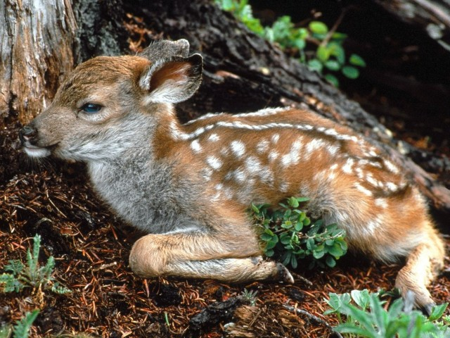 Black Tailed Deer Fawn Wallpaper