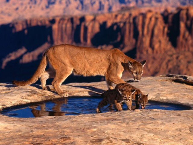 Cougar Alongside Cubs Wallpaper