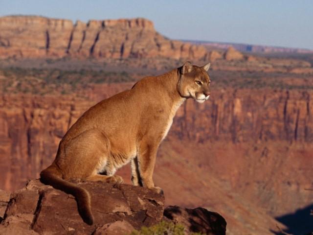 Cougar Canyon Vista Wallpaper