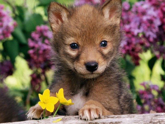 Coyote Pup Wallpaper
