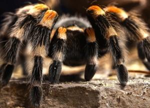 Creepy Tarantula Wallpaper
