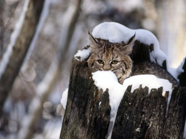Cute Baby Bobcat Kitten Wallpaper