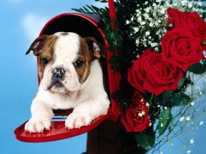 Cute English Bulldog Puppy Wallpaper